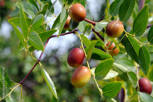 Valokuva  jujube fruits on a tree on a background of green leaves
