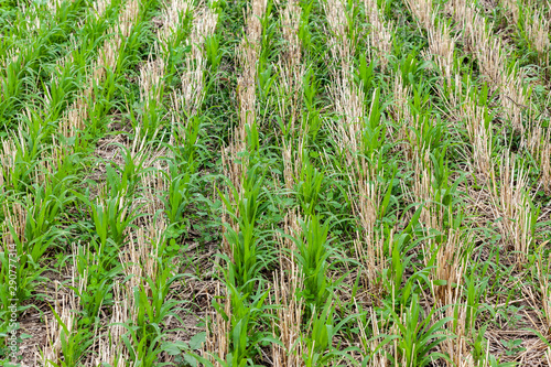 Fotografie, Obraz Sudangrass and tillage radish cover crops growing in wheat stubble