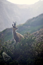 Wild Goat In The Mountains