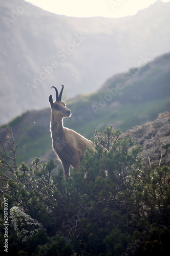 wild goat in the mountains Wall mural