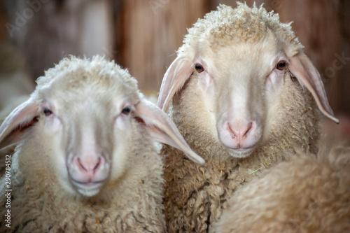 Valokuva Köpfe von zwei Schafen