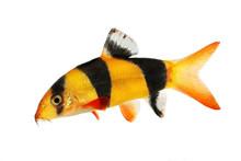 Clown Loach Tiger Botia Catfish Botia Macracanthus Aquarium Fish