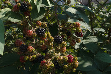 On A Small Bush With Dark Green Leaves Grow Small Berries Of An Unripened Blackberry In Sunny Summer Weather.