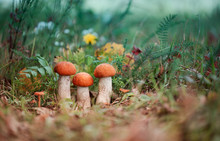 Orange-cap Boletus Mushrooms Is Growing In Autumn Forest Among Green Grass. Natural Vegetarian Food Ingredient From Woodland. Edible Mushrooms In Forest.