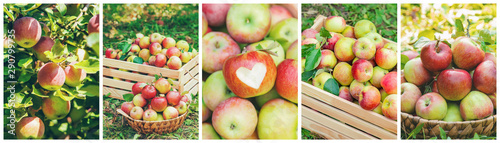 Collage of photos apple garden. Selective focus. - 290799735