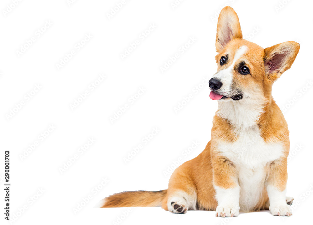 Fototapety, obrazy: welsh corgi puppy sitting full growth
