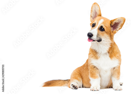 welsh corgi puppy sitting full growth