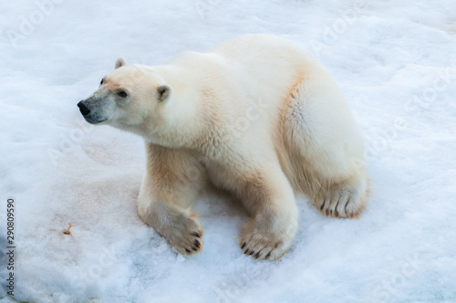 Foto op Aluminium Ijsbeer Large polar bear sitting on the ice pack in the Arctic Circle, Barentsoya, Svalbard, Norway