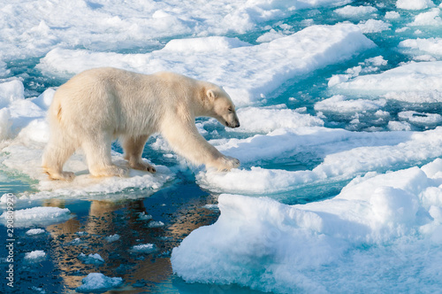 Foto op Aluminium Ijsbeer Large polar bear walking on the ice pack in the Arctic Circle, Barentsoya, Svalbard, Norway