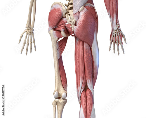 Photo Human male anatomy, limbs and hip muscular and skeletal systems, back view