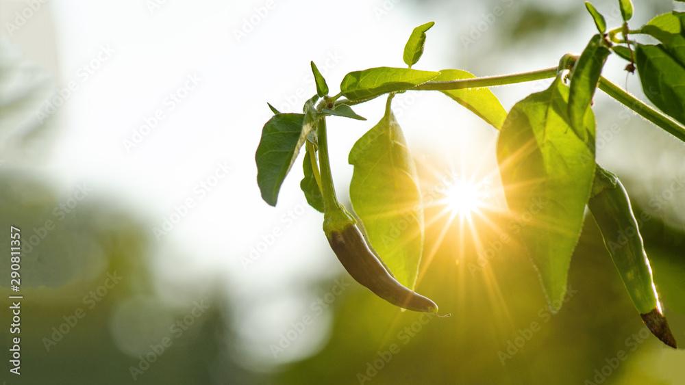 Fototapeta Scharfe Chilli im Garten angestrahlt von der Abendsonne