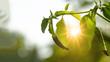 canvas print picture - Scharfe Chilli im Garten angestrahlt von der Abendsonne