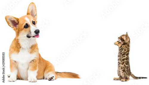 cat and dog together in full growth on a white background