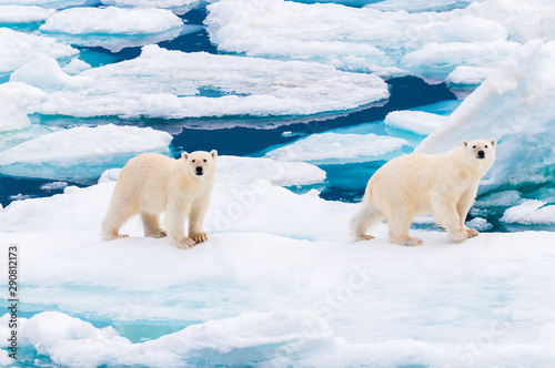 Poster Ijsbeer Polar bear cubs walking on the ice pack in the Arctic Circle, Barentsoya, Svalbard, Norway