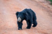 Sri Lankan Bear In Yala Nation...