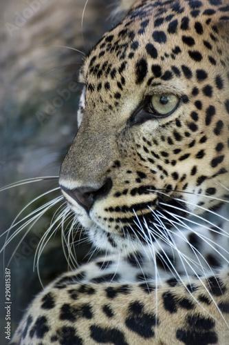 Keuken foto achterwand Panter Sri lankan leopard in the jungle
