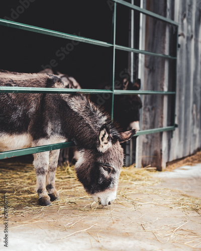 Tablou Canvas Mini Donkey Feeding