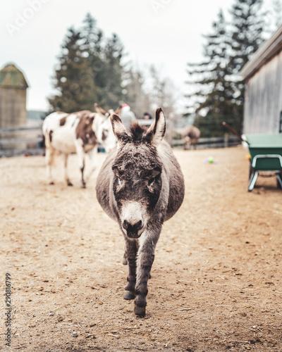 Photo Wandering donkey