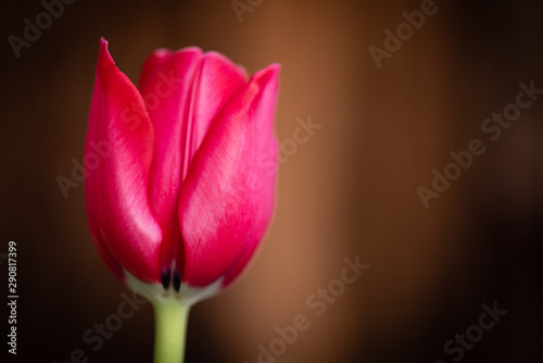 Bloom of beautiful single red tulip flower in front of a blurred brown background Canvas Print
