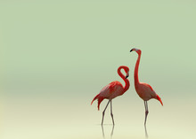 Flamingo Couple On Smooth Flat...