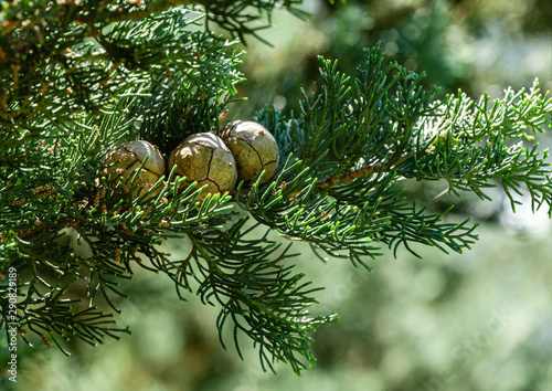 Branch of Mediterranean cypress with round cones seeds against sun on blurred spring green bokeh Canvas Print