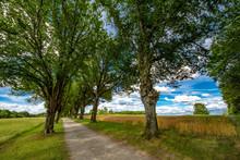 Weizenfelder Neben Einer Lindenallee Im Sommer