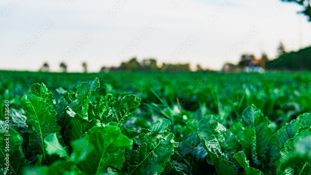 Fototapeta Green lettuce, salad, in vegetable plot. Field of salad. Harvest concept.