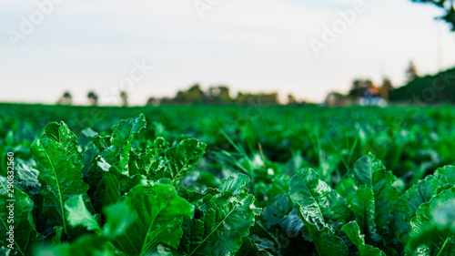 Photo Stands Green Green lettuce, salad, in vegetable plot. Field of salad. Harvest concept.