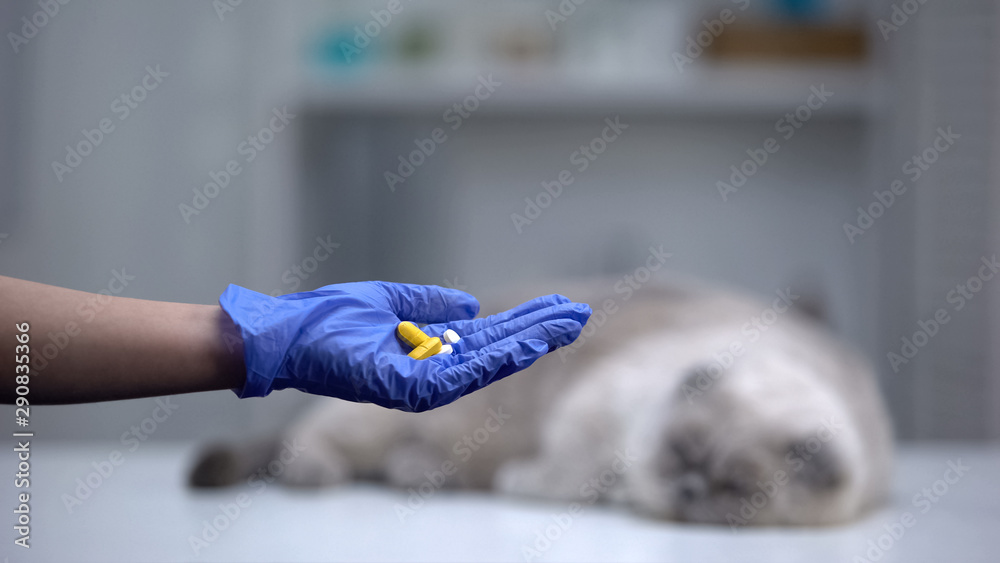 Fototapeta Hand in glove showing pills or vitamins for pets, grey cat lying on background