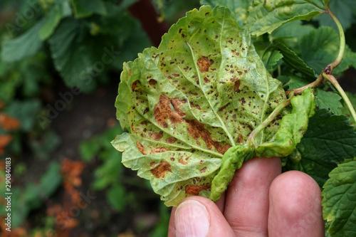 Fototapeta Chory liść krzaku owocowego w ogrodzie obraz