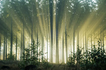 Foggy Morning In A Spruce Forest With Strong Sunbeams