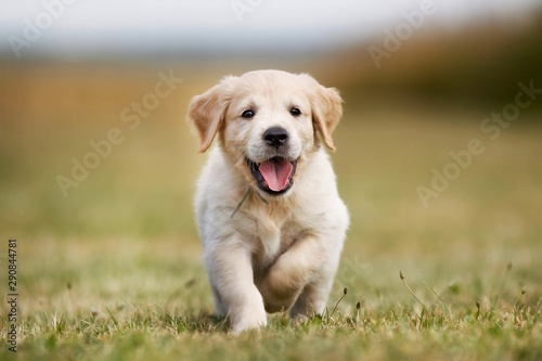 golden retriever on green grass Canvas