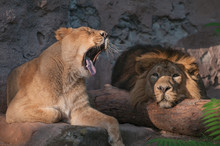 Yawning Lioness And Lazy Lion Lying In The Sun