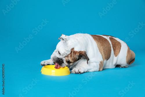 Obraz Adorable funny English bulldog with feeding bowl on light blue background - fototapety do salonu