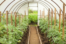 Polycarbonate Home Greenhouse With Ecological Green Tomatoes In Selective Focus. Concept Of Eco Self-growing Vegetables.