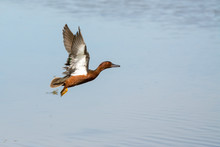 Male Drake Cinnamon Teal Duck Flying Over Water.