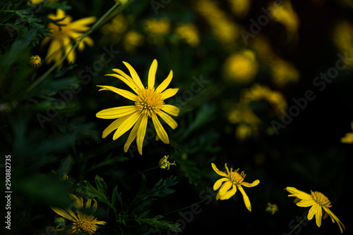 Close up of bright Yellow petals of flowers highly contrasting with black background