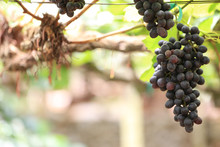 Green Grape Plant With Green Leaf, Red Root, Fresh Green And Red Grape For Eating Or Making Wine