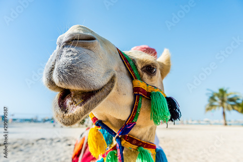 Photo the smiling white camel