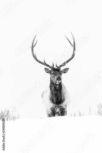 Fotobehang Hert Elk or wapiti (Cervus canadensis), Yellowstone National Park, Wyoming, USA, America
