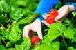 canvas print picture - Fresh organic strawberries in the hands of a woman,.Elsanta variety, sweet and juicy in taste