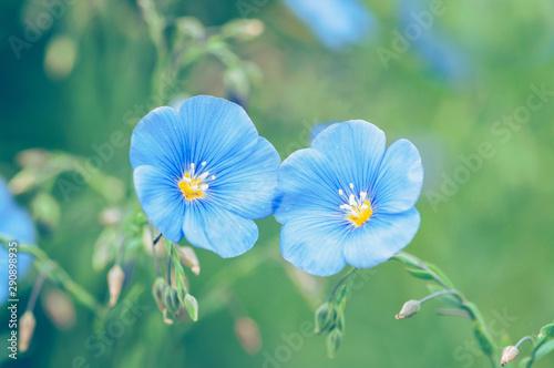 Obraz Two blue flax flowers on a green background, Linum usitatissimum - fototapety do salonu