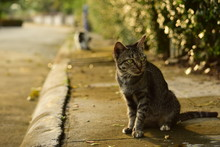 Stray Tabby Cat In Neighborhoo...