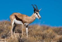 Springbok, Antidorcas Marsupia...