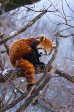 Red Panda (Ailurus Fulgens), Also Called Lesser Panda, Red Bear-cat, And Red Cat-bear