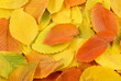 canvas print picture - Autumn elm leaves background