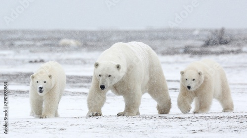 Canvas Prints Polar bear family of polar bears in arctic