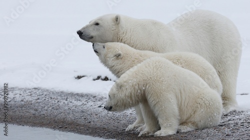 Photo sur Aluminium Ours Blanc polar bear in the zoo