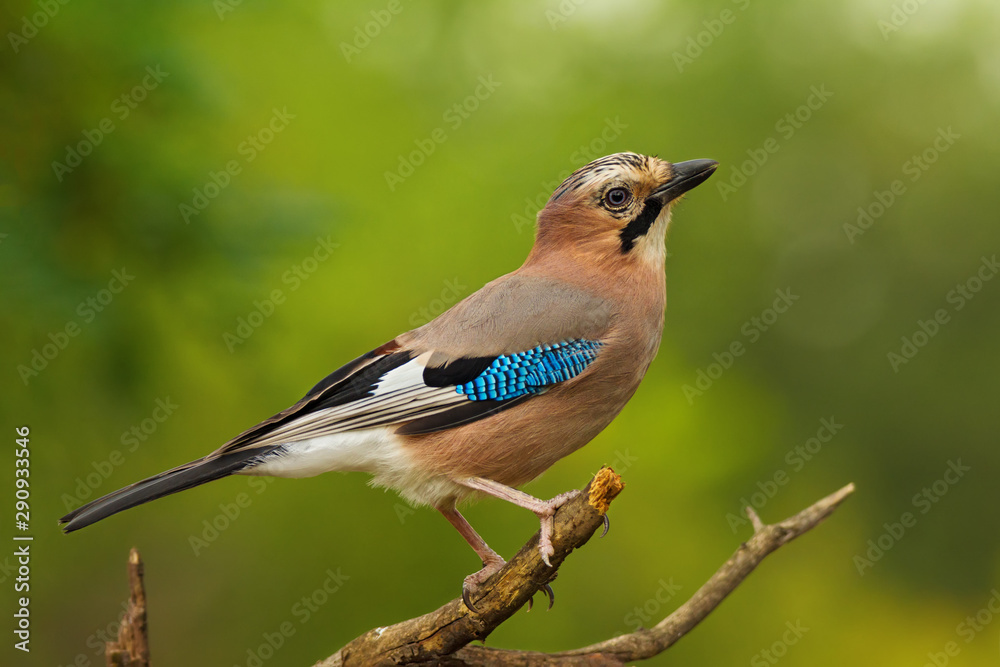 Fototapeta Single ordinary jay sitting on tree branch