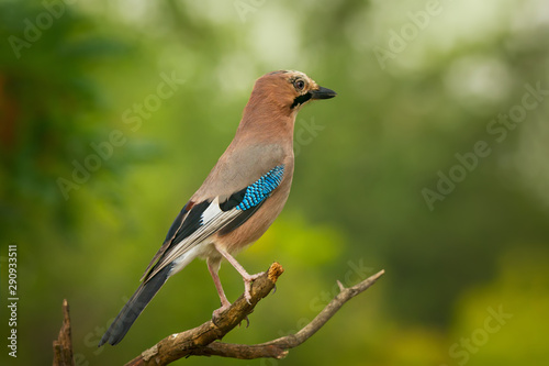 Single ordinary jay sitting on tree branch Fototapet